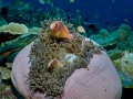 Anemone Fish Diving Weda Resort Halmahera