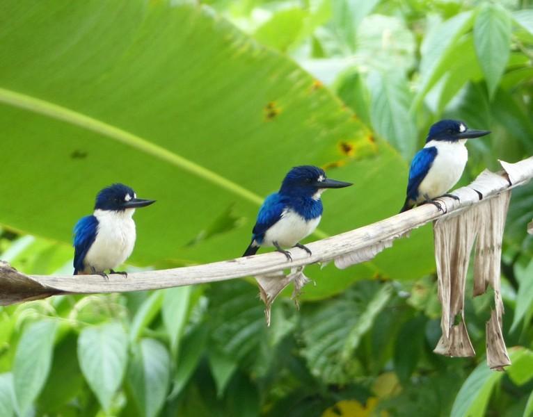 wallace bird by madhulika