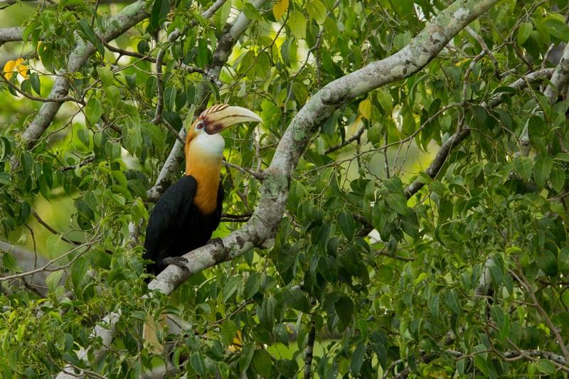 Blyth's Hornbill in Halmahera at Weda Resort