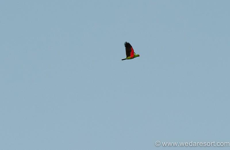 Eclectus Parrot in Halmahera at Weda Resort