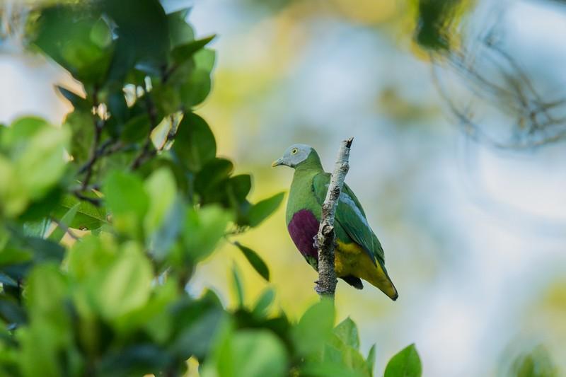 Grey Headed Fruit Dove in Halmahera at Weda Resort