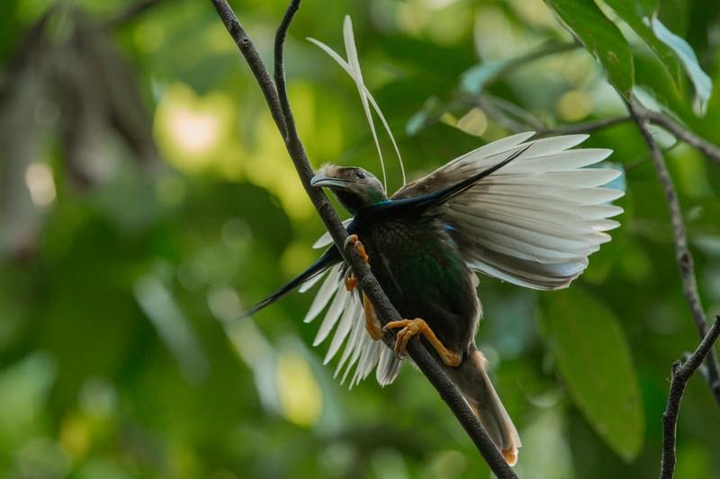 Standard Wing Bird of Paradise in Halmahera at Weda Resort