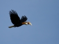 Blyth's Hornbill in Halmahera at Weda Resort
