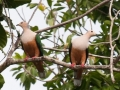 Cinnamon Bellied Imperial Pigeon in Halmahera at Weda Resort