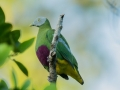 Grey Headed Fruit Dove in Halmahera at Weda Resort