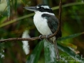 Sombre Kingfisher in Halmahera at Weda Resort