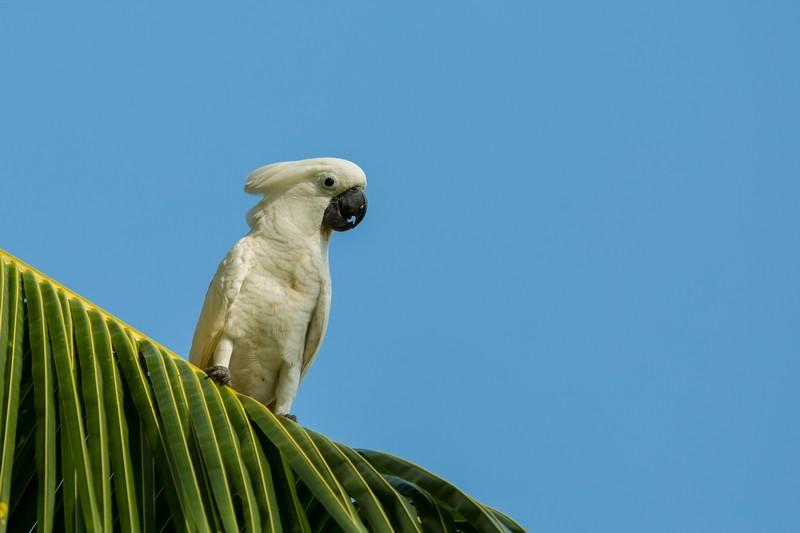 White Cockatoo in Halmahera at Weda Resort